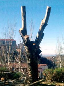 Árbol podado en González Macías, Béjar