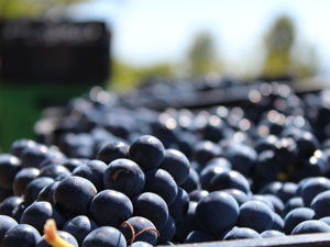 Imagen de racimos de uvas tintas vendimiadas