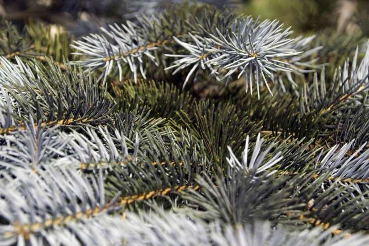 Detalle de ramas de abeto natural