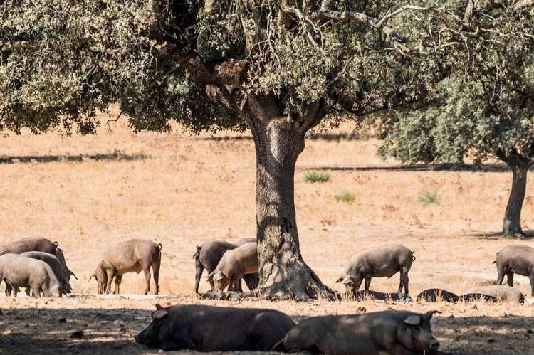 Cerdos ibéricos en el campo