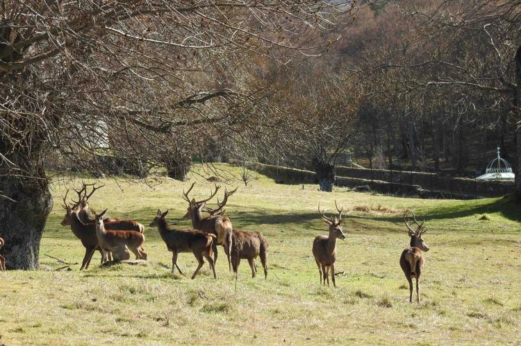 Ciervos en El Bosque de Béjar