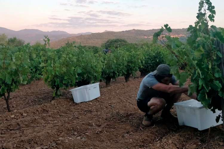 Viticultor recogiendo las primeras uvas de la vendimia