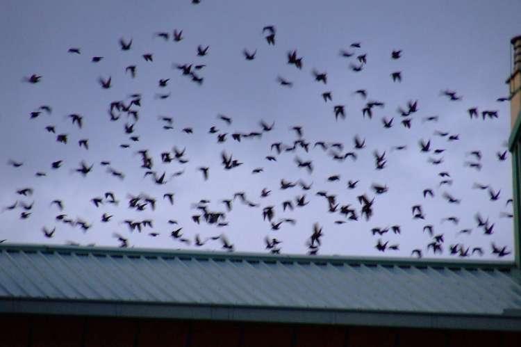 Plaga de aves sobre los tejados bejaranos