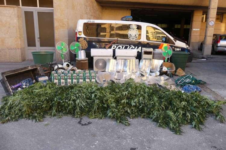 Plantas de Marihuana incautada por la Policí a Nacional de Salamanca