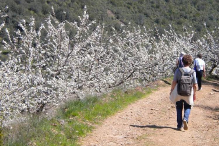 Marcha senderista cerezos en flor