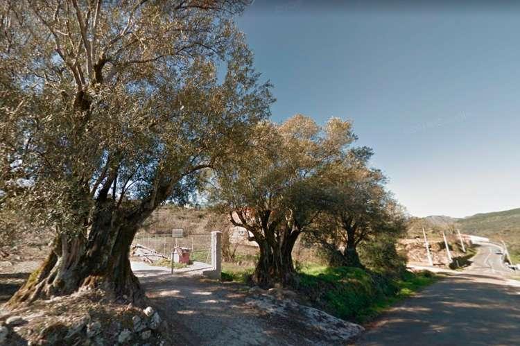 Olivos centenarios en la salida de San Esteban en la DSA 241