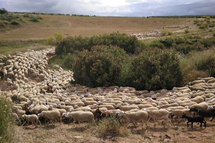 Ovejas trashumando por la vía pecuaria