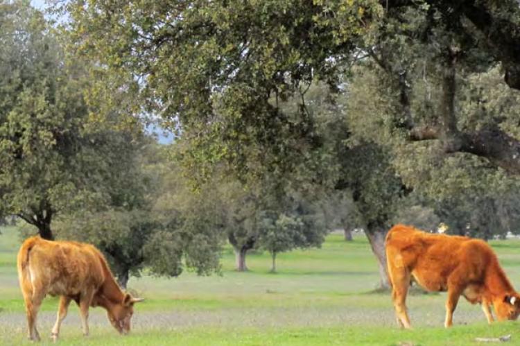 Vacas pastando en la sierra