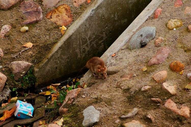 Rata junto a basura