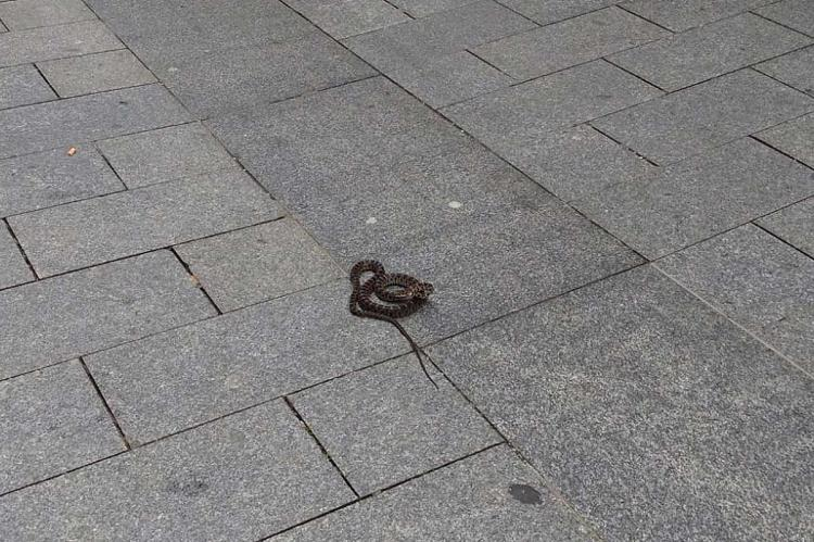 Serpiente en el suelo de la calle Mayor de Reinoso de Béjar