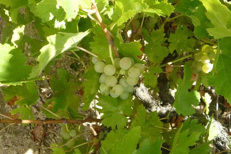 Racimo de uva Rufete en la parra
