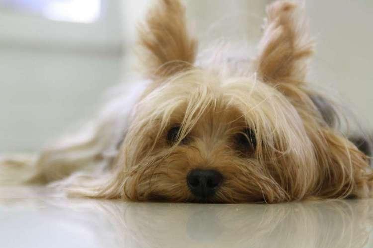 Perro de la misma raza que el que fue rescatado por la dueña a cambio de 1000 euros