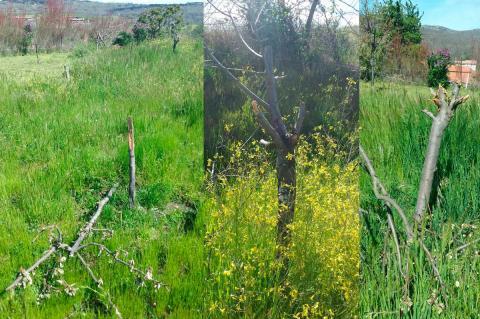 Nuevos actos de vandalismo , árboles cortados en San bartolomé de Béjar