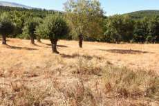 árboles sin podar sobre campo seco