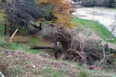 Árbol derribado por el viento en Monte Mario
